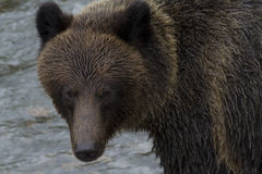 Brown Grizzly Bear at Hannah Creek in British Columbia Royalty Free Stock Images