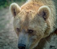Brown grizzly bear head in summer close-up at zoo stock photo