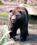 Brown Grizzly Bear Stands Observing North American Animal Royalty Free Stock Photography