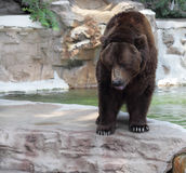 Brown Grizzly Bear. A brown grizzly bear staring down with water droplets falling from mouth.  Taken at the St. Louis Zoo July 3, 2013.  Focus on the face and Stock Photography