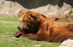 Brown Grizzly Bear in Zoo Stock Photo