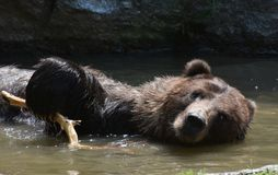 Brown grizzly floating on its side in the wild Stock Photos
