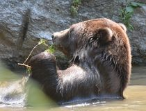 Brown grizzly holding a twig in its paws Royalty Free Stock Images
