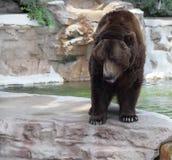 Brown grizzly niedźwiedź Fotografia Stock