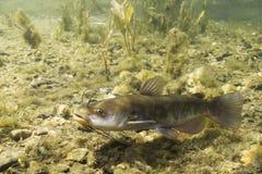 Brown-Groppe-Wels Ameiurus nebulosus Unterwasserphotographie Frischwasserfische im Trinkwasser- und Naturlebensraum frech lizenzfreie stockbilder