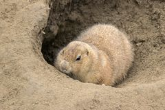 Brown groundhog in sand hole. Close up of a groundhog in sand hole stock images