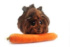 Brown guinea pig Stock Image