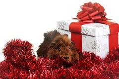 Brown guinea pig Royalty Free Stock Photos