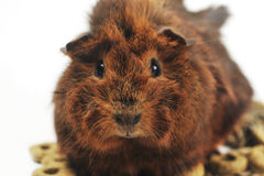 Brown guinea pig Stock Photography