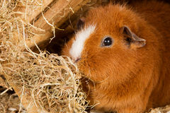 Brown guinea pig Stock Images