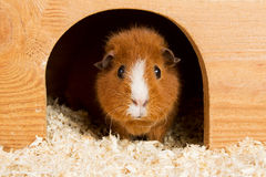Brown guinea pig Royalty Free Stock Photography