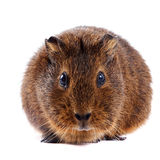 Brown guinea pig. On a white background Royalty Free Stock Image