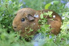 Brown Guinea Pig. A brown guinea pig in a field of blue flowers Stock Photo