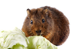 Brown guinea pig with cabbage leaves. On a white background Royalty Free Stock Photos