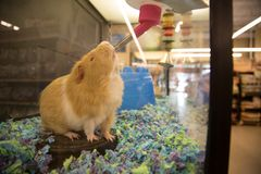 Brown guinea pig drinking water. In a pet store cage royalty free stock images