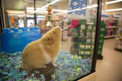 Brown guinea pig drinking water. In a pet store cage royalty free stock image