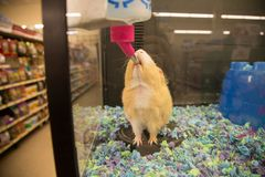 Brown guinea pig drinking water. In a pet store cage stock photography