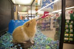 Brown guinea pig drinking water. In a pet store cage royalty free stock photo