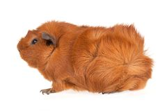 Brown guinea pig isolated on white Stock Photography