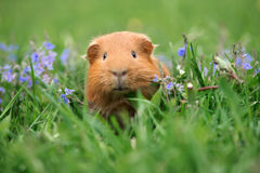 Brown guinea pig posing outdoors Stock Photography