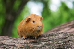 Brown guinea pig posing outdoors Royalty Free Stock Photography