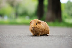 Brown guinea pig posing outdoors Royalty Free Stock Image
