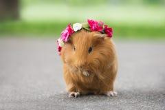 Brown guinea pig posing outdoors Stock Photos