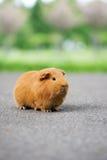 Brown guinea pig posing outdoors Stock Image