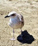 Gull on the beach,  gull on sand. An  brown gull on the beach, on the sand, looking for something to eat, in Elba island, in Livorno , Italy, Europe Royalty Free Stock Photography