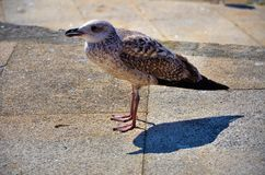 Brown gull Stock Photos