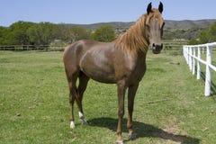 Brown häst Royaltyfria Bilder
