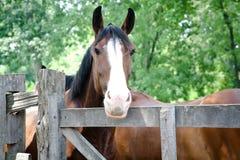 Brown häst med den vita näsan Royaltyfri Fotografi