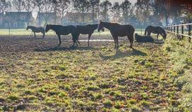 Brown hästar på gryning Royaltyfria Bilder