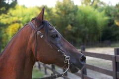 Brown hästhuvud. Royaltyfri Bild