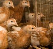 Brown-Hühner in einem Käfig Lizenzfreie Stockfotos