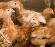 Brown-Hühner in einem Käfig Stockfotografie