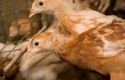 Brown-Hühner in einem Käfig Stockfoto
