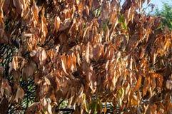 Brown ha asciugato le foglie immagini stock libere da diritti
