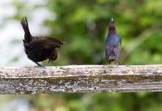 Brown ha diretto il Cowbird Fotografie Stock