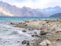 Brown ha diretto il gabbiano al lago Pangong o al TSO di Pangong, Ladakh, India fotografia stock libera da diritti
