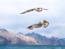 Brown ha diretto il gabbiano che vola via al lago Pangong o al TSO di Pangong, ragazzo fotografia stock