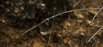 Brown ha macchiato il lepidottero, monotono Fotografia Stock