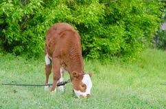 Brown ha macchiato il toro fra erba verde fresca Fotografie Stock