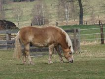 Brown Haflinger horse on spring pasture. South Bohemia royalty free stock photography
