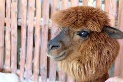 Brown hair alpaca Royalty Free Stock Photos