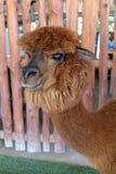 Brown hair alpaca Royalty Free Stock Images