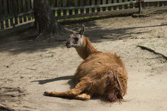 Brown hair lama lay on ground. In farm royalty free stock photo