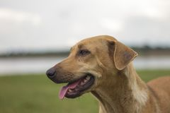 Male brown dog made a sad sight on the natural background of gold, sky and mountains. royalty free stock photography