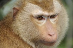 Brown haired Rhesus Monkey. Brown haired furry Rhesus monkey from Ko Samui, Thailand Stock Image