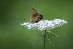 Brown Hairstreak butterfly Royalty Free Stock Photos